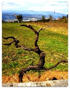 Primeira fotogarfia publicada no artigo Crise Sob as Vinhas afetadas das AOC ...